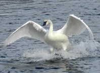 Trumpeter-swan-in-flight