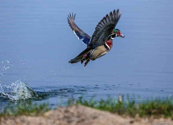 Wood-Duck-Lg-by-Dave-Baer